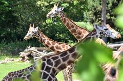 giraffe_rothschildgiraffe_4805