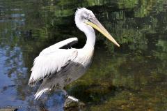 vogel_pelikan_krauskopfpelikan_4377
