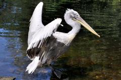 vogel_pelikan_krauskopfpelikan_4387