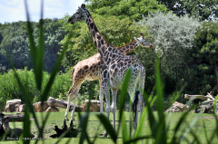 giraffe_rothschildgiraffe_4707