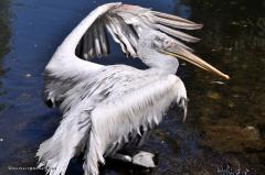 vogel_pelikan_krauskopfpelikan_4335