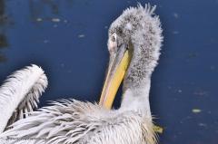vogel_pelikan_krauskopfpelikan_4332