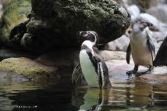 tiere_voegel-pinguine-humboldtpinguine-010