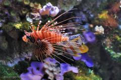 tiere_meewasserfische-001-feuerfisch