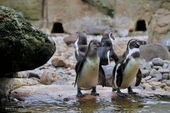 tiere_voegel-pinguine-humboldtpinguine-008