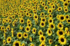 07.022-gaerten_von_schloss_trauttmansdorff_blumen-sonnenblumen-9747